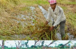 baran news today in hindi crop destroyed